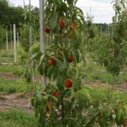 Саженцы персика 2