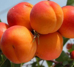 Саженцы абрикоса Триумф Севера